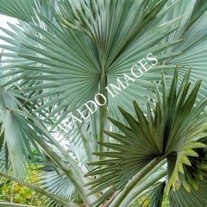 White Beach Palms