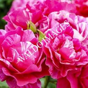 Simpele mooie rozen in het Westbroekpark in Den Haag.